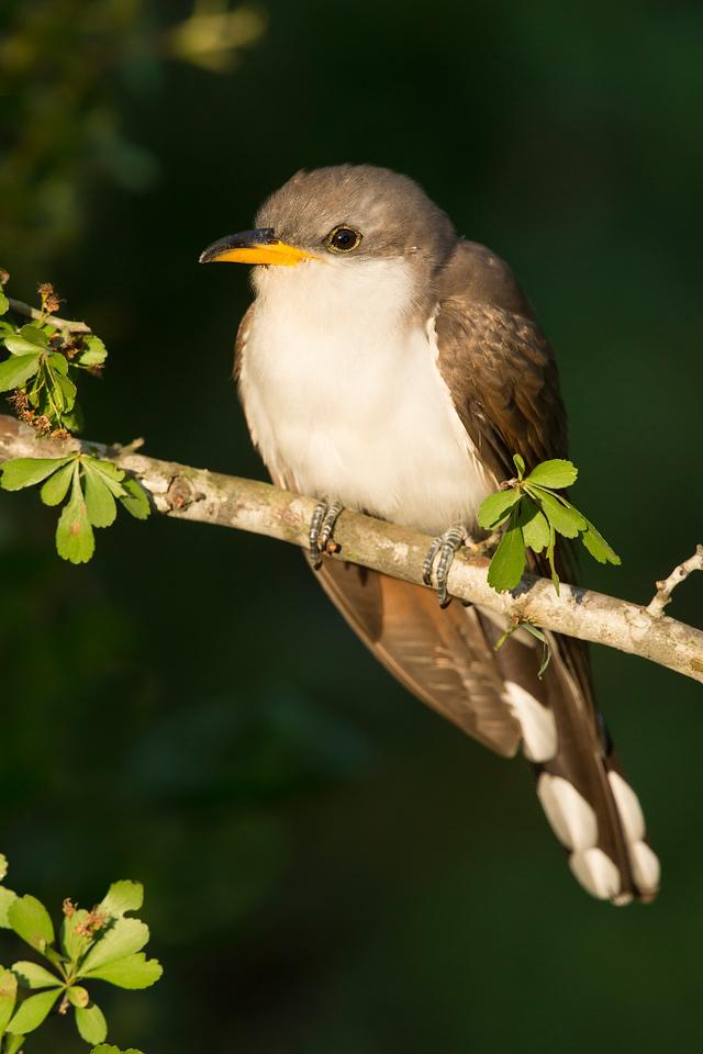 Yellow-billed Cuckoo Galveston, TX