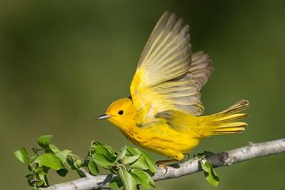 Yellow Warbler Male Galveston, TX
