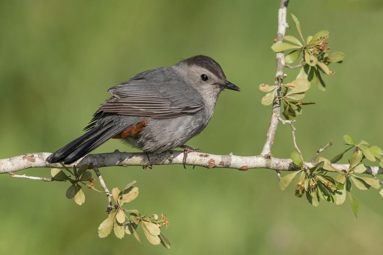 Gray Catbird Galveston, TX