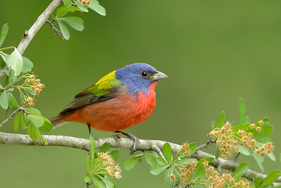 Painted Bunting Galveston, TX
