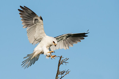 White-tailed Kite Galveston, TX