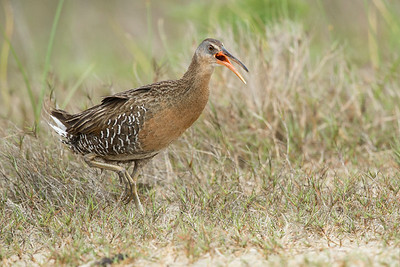 Clapper Rail San Louis Pass, TX