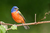 Painted Bunting Male<br /> Galveston, TX