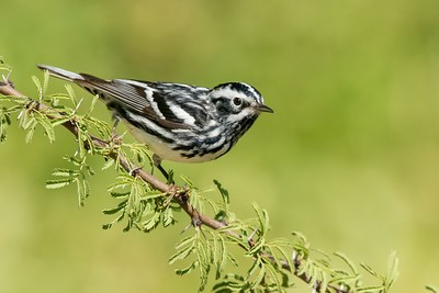 Black and White Warbler Galveston, TX 2014