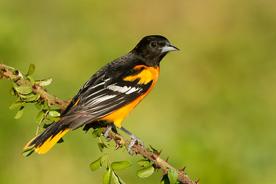 Baltimore Oriole Galveston, TX 2014