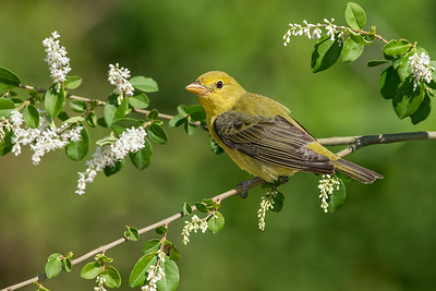 Scarlet Tanager Female Galveston, TX 2014