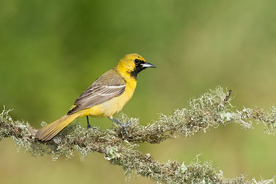 Orchard Oriole.  Young Male Galveston, TX 2014