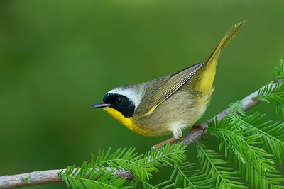 Common Yellowthroat Galveston, TX 2014