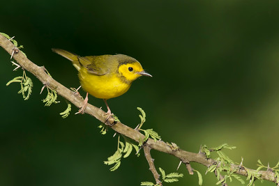 Hooded Warbler Galveston, TX 2014