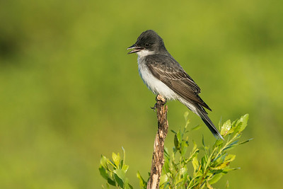 Eastern Kingbird Galveston, TX 2014