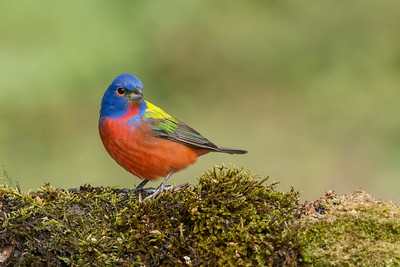 Painted Bunting Galveston, TX 2014