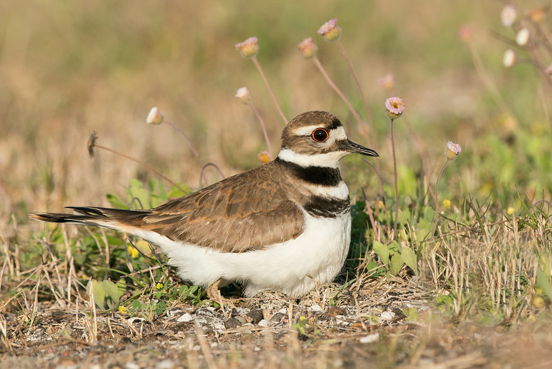 Killdeer on Eggs Galveston, TX 2014