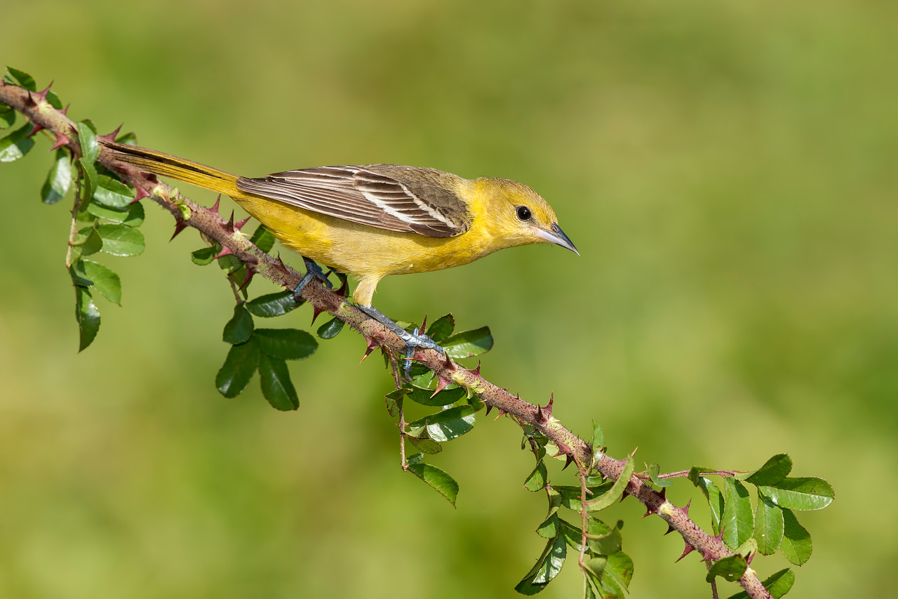 Orchard Oriole Female Galveston, TX 2014