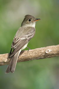 Eastern Wood-Pewee Galveston, TX 2014