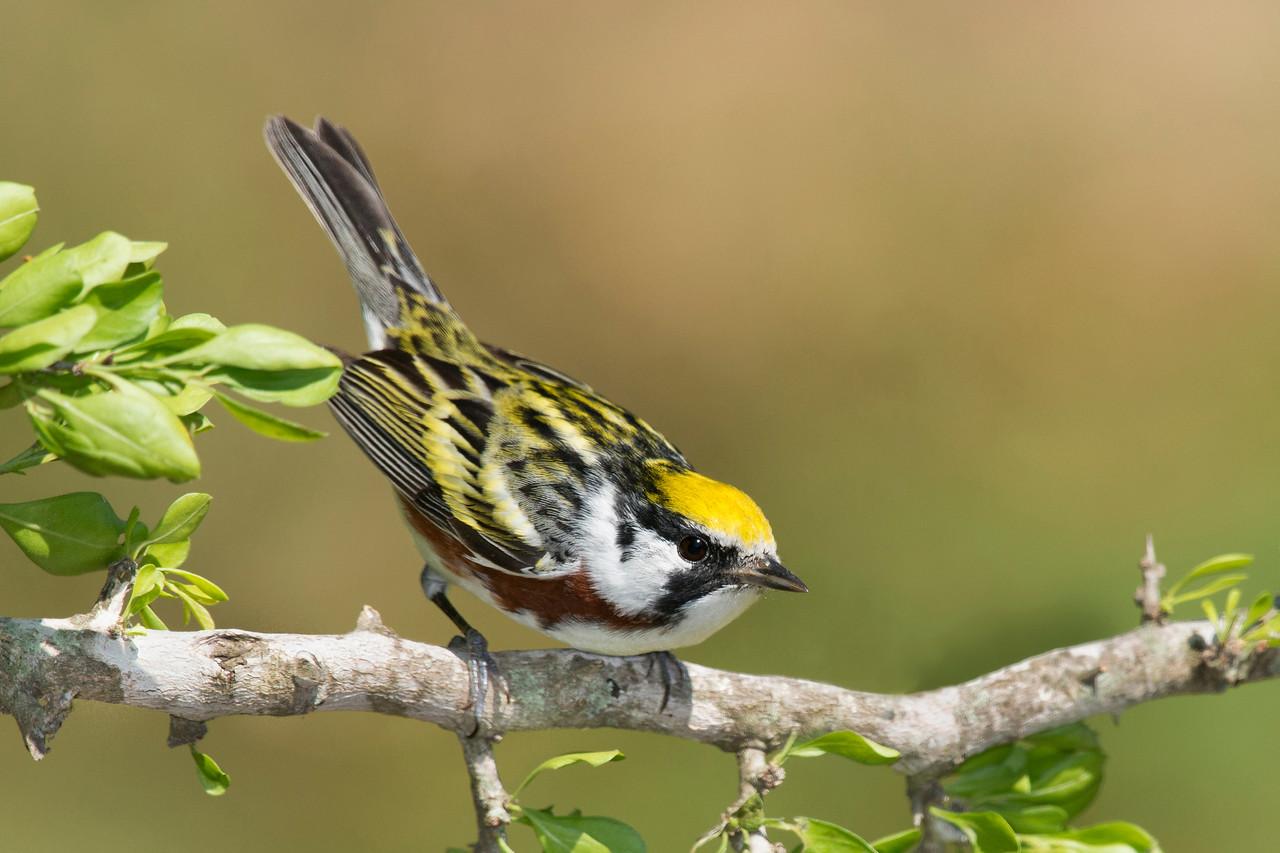 Chestnut-sided Warbler Galveston, TX 2014