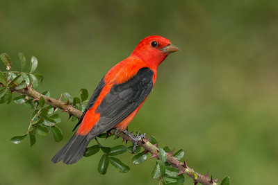 Scarlet Tanager Galveston, TX 2014