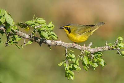 Kentucky Warbler Galveston, TX 2014