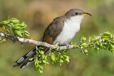 Yellow-billed Cuckoo Galveston, TX 2014