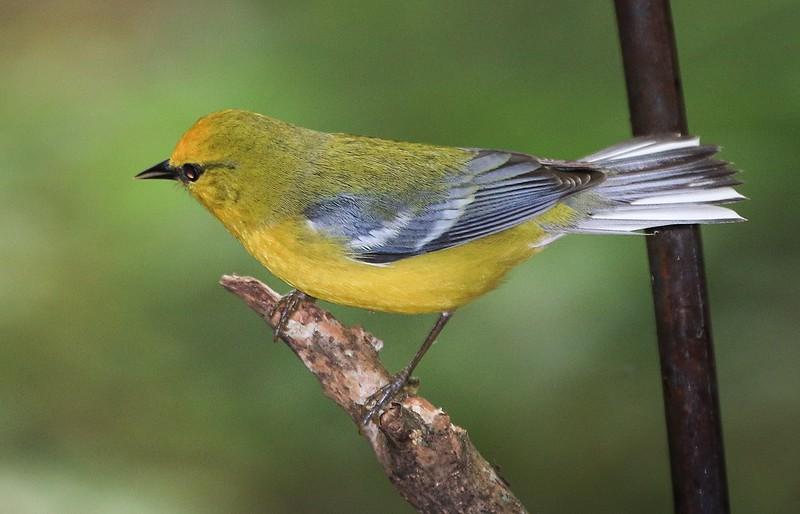 aaHi Island Weds 5-2-2018 126A female Blue-winged Warbler-126