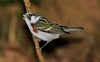 aaHi Isl  May 5 and 6, 2018 331A, female breeding Chestnut-sided Warbler-
