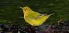 aaHi Island Weds 5-2-2018 155A Yellow Warbler-155