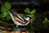 aaHi Isl  May 5 and 6, 2018 313A, Chestnut-sided Warbler-