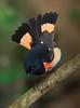 aaHi Island Weds 5-2-2018 257A male American Redstart-257