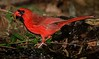 aaHi Isl  May 5 and 6, 2018 334A, Cardinal with a mealworm-