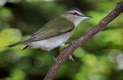aaHi Isl  May 5 and 6, 2018 096A, Red-eyed Vireo-