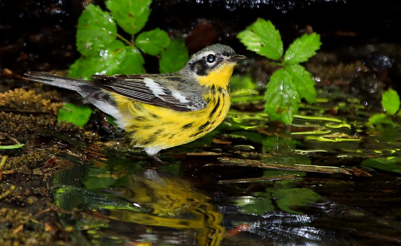 aaHi Isl  May 5 and 6, 2018 177A, female Magnolia Warbler-