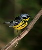 aaHi Isl  May 5 and 6, 2018 309A, Magnolia Warbler-