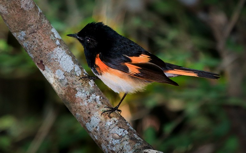 aaHi Isl  May 5 and 6, 2018 082A, male American Redstart-