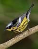 aaHi Island Weds 5-2-2018 264A male Magnolia Warbler-264