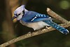 aaHi Isl  May 5 and 6, 2018 267A, male Blue Jay-