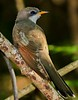 aaHi Isl  May 5 and 6, 2018 295A, Yellow-billed Cuckoo-