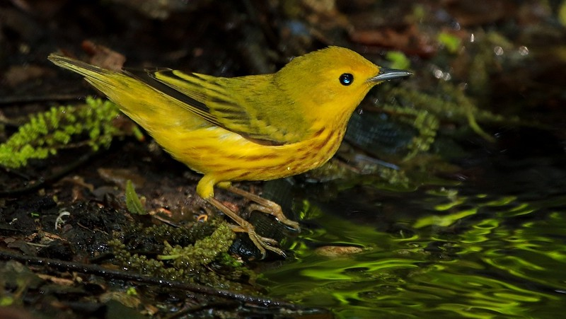 aaHi Island Weds 5-2-2018 241A Yellow Warbler at drip-241