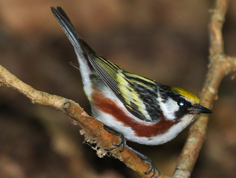aaHi Isl  May 5 and 6, 2018 266A, male Chestnut-sided Warbler-