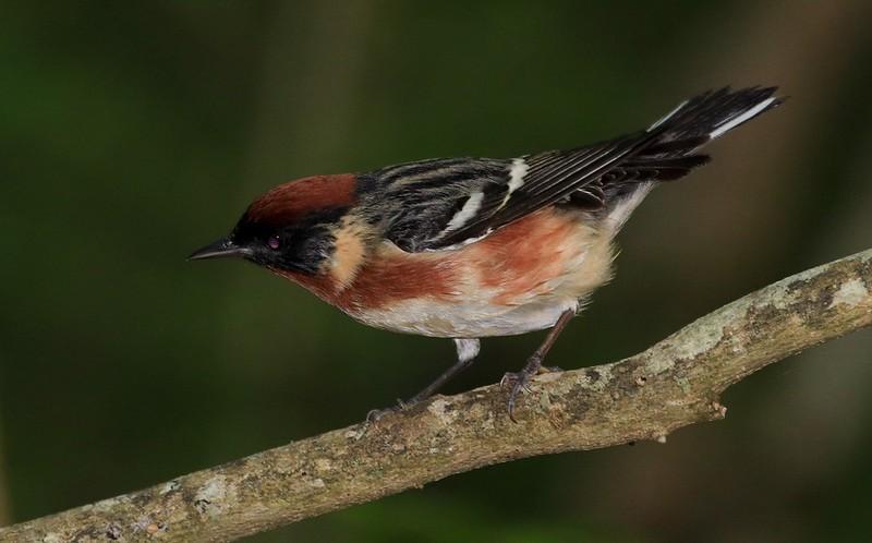 aaHi Island Weds 5-2-2018 274A male Bay-breasted Warbler-274