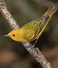 aaHi Island Weds 5-2-2018 234A Yellow Warbler-234