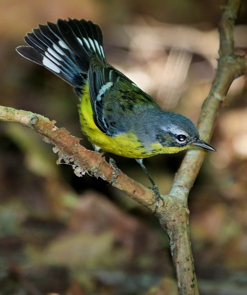 aaHi Isl  May 5 and 6, 2018 213A, Magnolia Warbler-