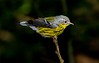 aaHi Isl  May 5 and 6, 2018 031A, Magnolia Warbler-