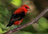 aaHi Isl  May 5 and 6, 2018 233A, male Scarlet Tanager-