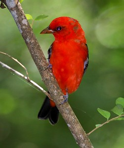 aaHi Isl  May 5 and 6, 2018 219A, male Scarlet Tanager-
