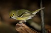 aaHi Isl  May 5 and 6, 2018 325A, White-eyed Vireo-