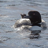 More Loons!