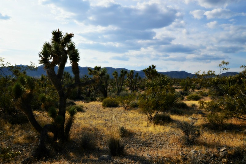 Joshua Tree Forest in the Spring Mountains Nevada