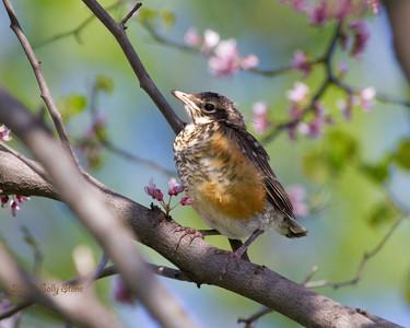 Spring Robins 2015