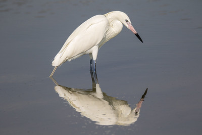 White Morph Reddish Egret in Breeding Color