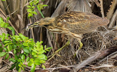 American Bittern with Lizard