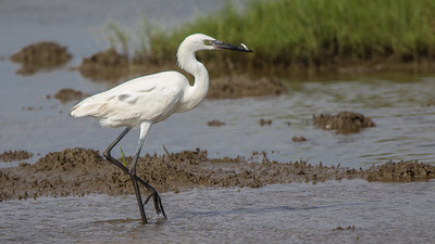 White Morph Reddish Egret with Minnow